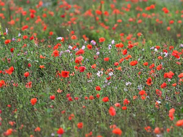 wildflower-poppies-meadow